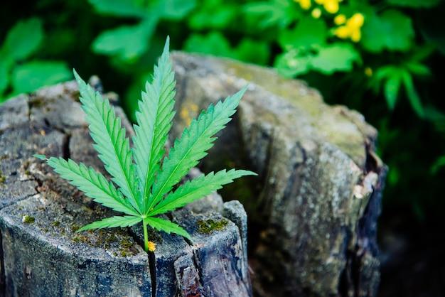 Een vers cannabisblad ligt op de boomstronk