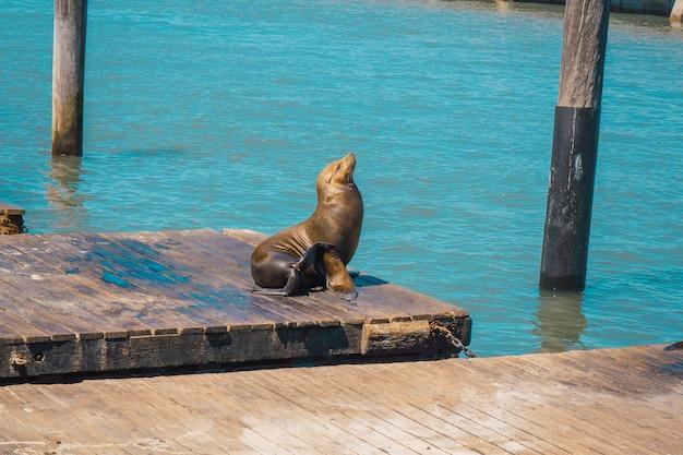 Een vers gedroogde zeehond bij pier 39, san francisco. verenigde staten