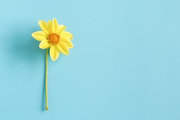 Een verse natuurlijke gele bloem op blauwe achtergrond. concept hallo lente, goedemorgen. bovenaanzicht creative flat lay