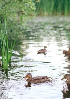 Een verticaal schot van schattige eenden die in een meer zwemmen. wilde eenden in de natuur.
