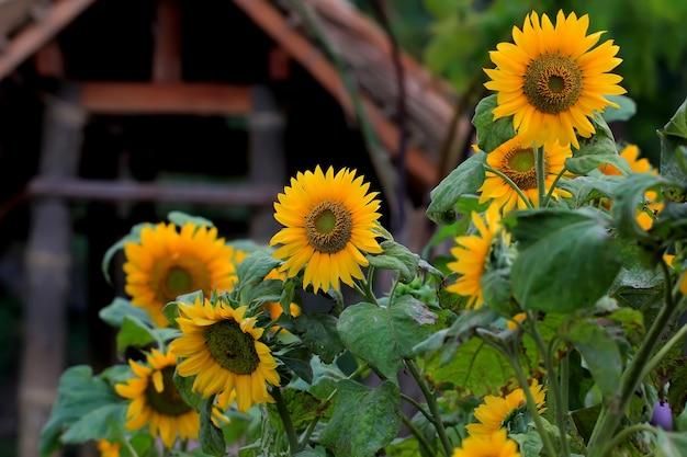 Een verzameling zonnebloemen die in het voorjaar in een tuin bloeien