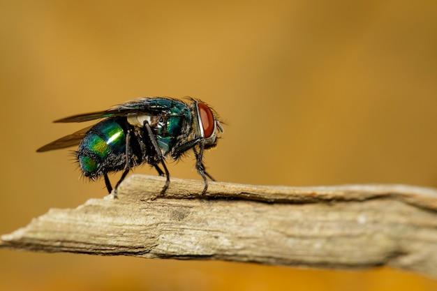 Een vliegen (diptera) op bruine tak.