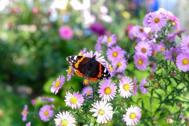 Een vlinder admiraal zittend op een bos bloemen in een tuin