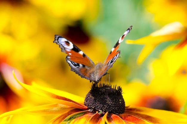 Een vlinder op susans met zwarte ogen
