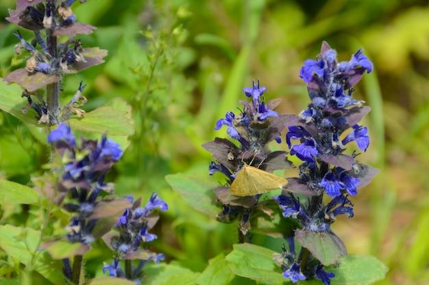 Een vlinder zit op een bloem echium vulgare, bekend als viper's bugloss en blueweed is een soort van bloeiende plant in de bernagie-familie boraginaceae. het is inheems in het grootste deel van europa en azië.