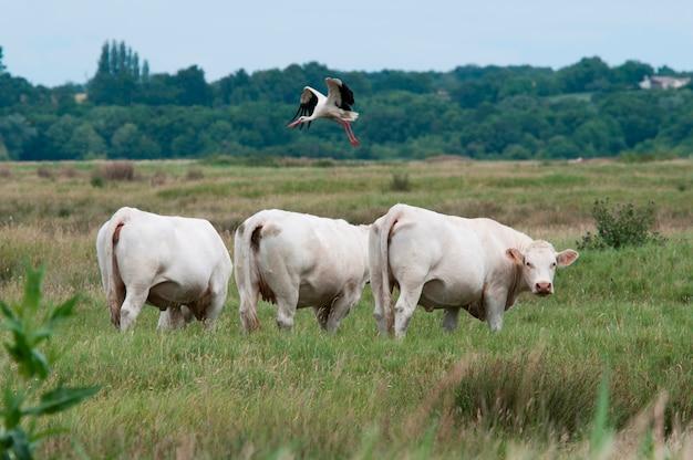 Een vogel die over sommige koeien op een gebied vliegt