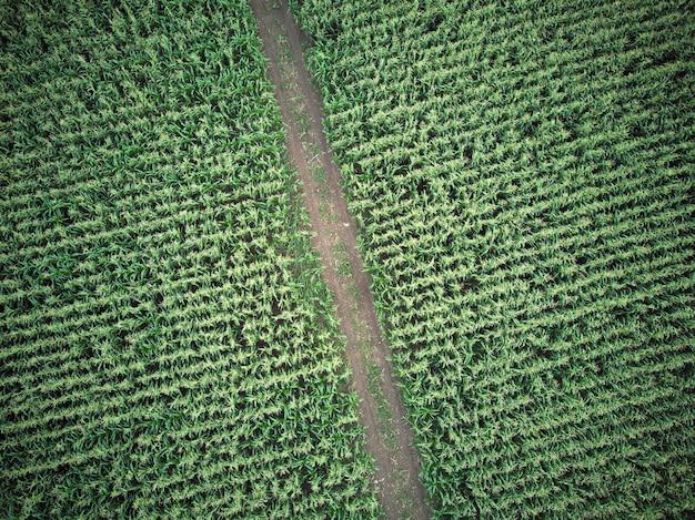 Een vogelvlucht van een prachtige landelijke weg in een groen maïsveld. een schot van een drone. concepten van natuur en landbouw.