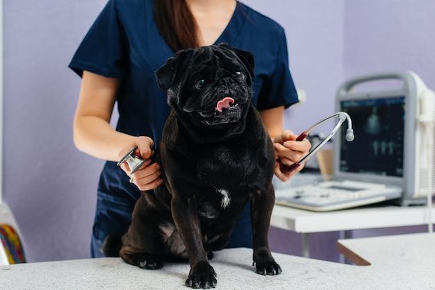 Een volbloed zwarte hond van het teckelras wordt onderzocht en behandeld in een dierenkliniek. diergeneeskunde.