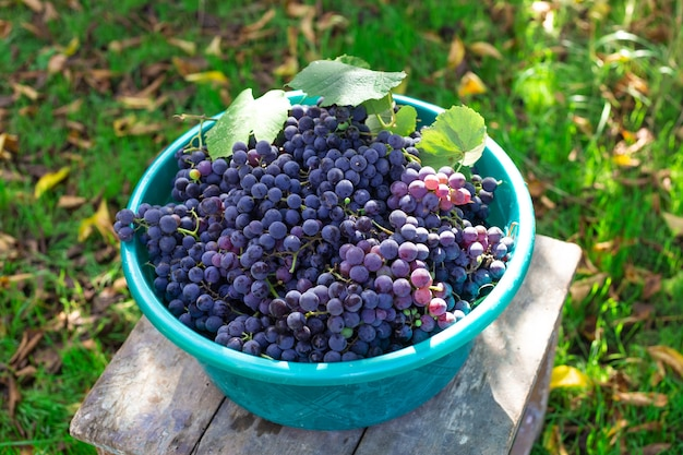 Een volle mand met rijpe zwarte druiven die in de herfst fruit oogsten op de boerderij