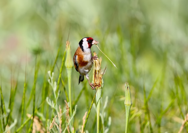 Een volwassen distelvink zit op het gras en houdt een dun grassprietje in zijn bek