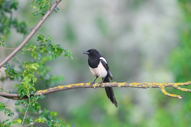 Een volwassen gewone ekster (pica pica) zit op een droge tak