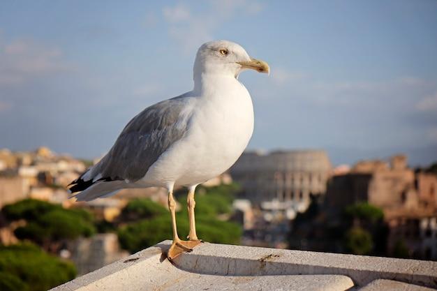 Een volwassen gewone meeuw of mew meeuw staande op een dak, colosseum van rome
