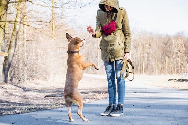 Een volwassen hond trainen om op twee benen te lopen. persoon die een staffordshire terriër in een park opleiden.