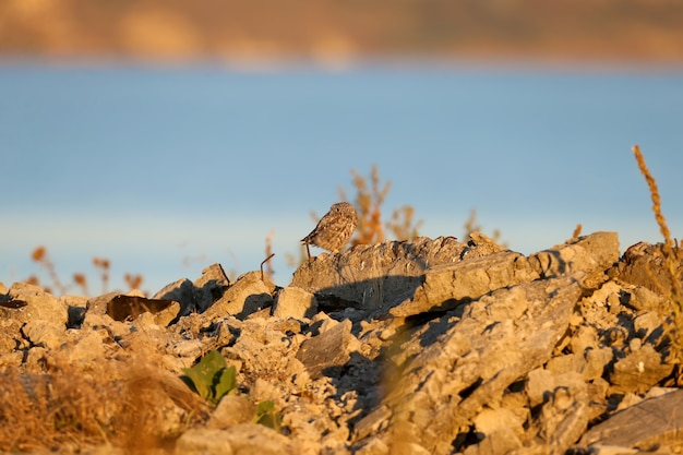 Een volwassen kleine uil zit op de ruïnes van een boerderij in het zachte ochtendlicht