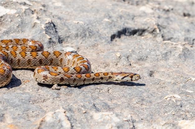 Een volwassen luipaardslang of europese rattenslang, zamenis-situla, die op rotsen in malta glijden