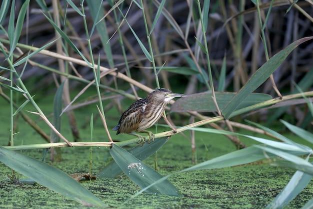 Een volwassen mannetje en een jonge roerdomp worden in close-up gefotografeerd terwijl ze kikkers voorbereiden en jagen in de vijver.