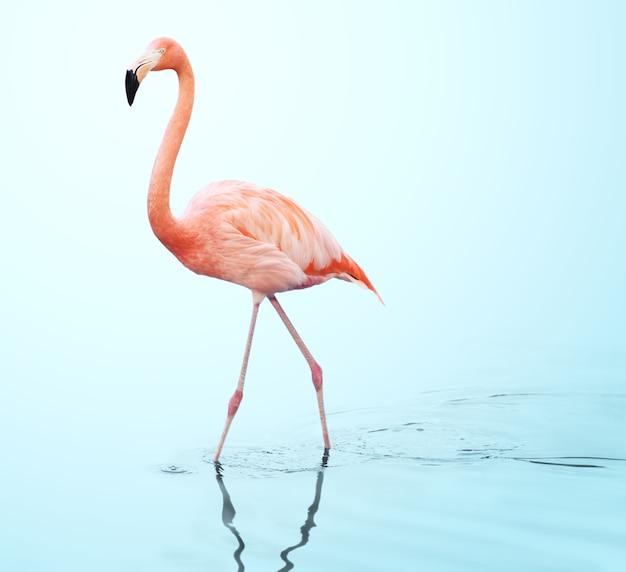 Een volwassen roze flamingo die op het water loopt.