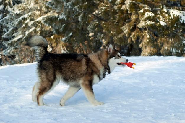 Een volwassen siberische husky-puppy rent door de sneeuw met een speeltje tussen zijn tanden