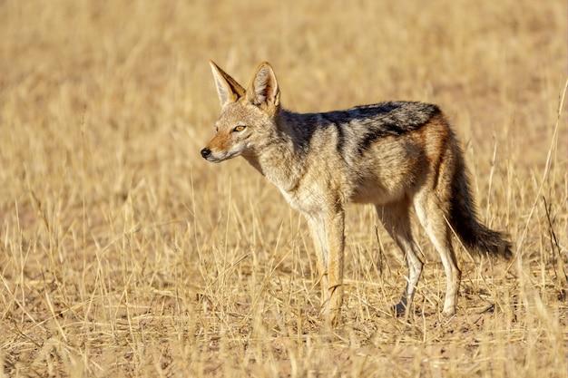 Een vos in een veld