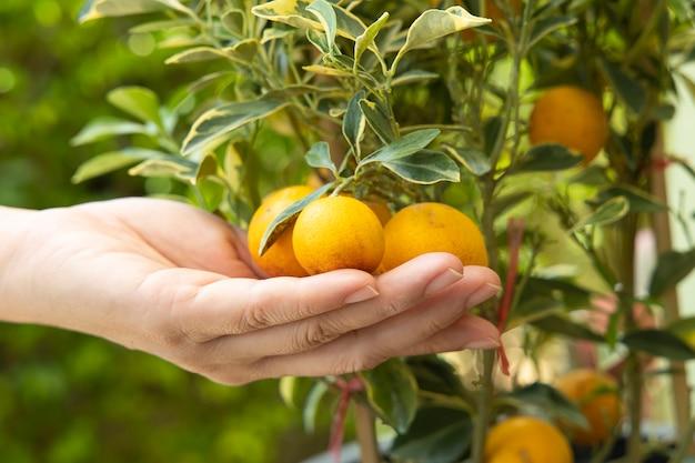 Een vrouw die een kumquatfruit op kumquatboom houdt.