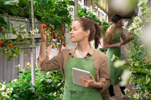 Een vrouw die een touchpad vasthoudt terwijl ze naar aardbeienzaailingen kijkt tijdens het werk in een verticale boerderij