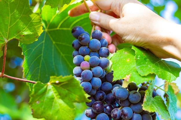 Een vrouw houdt in haar hand een tros rijpe zwarte isabella-druiven in de tuin. verzameling van heerlijke bessen voor het maken van wijn.