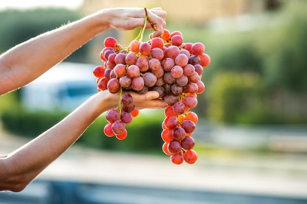 Een vrouw met een grote cluster van rode druiven in haar hand.