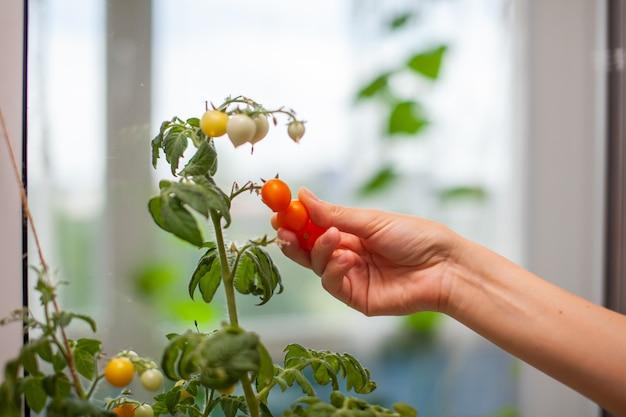 Een vrouw plukt rijpe, gele tomaten. onrijpe en rijpe kleine tomaten groeien op de vensterbank. verse mini-groenten in de kas op een tak met groen fruit. jonge vruchten op de struik.