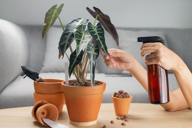 Een vrouw sproeit vloeibare meststof voor de bladvoeding op de alocasia sanderiana stier of alocasia bambino in een aarden pot en accessoires op tafel