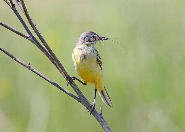 Een vrouwelijke gele kwikstaart zit op een tak en houdt in zijn bek materiaal vast voor de constructie van het nest. vogel