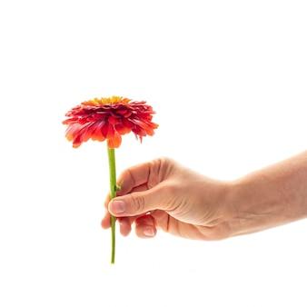 Een vrouwelijke hand die een tot bloei komende bloem van zinnia houdt die als gift en symbool van liefdeconcept wordt geïsoleerd