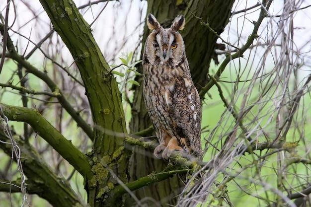 Een vrouwelijke uil met lange oren zit op de boom dichtbij nest