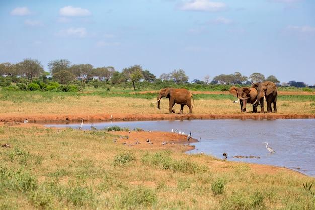 Een waterpoel in de savanne met wat rode olifanten