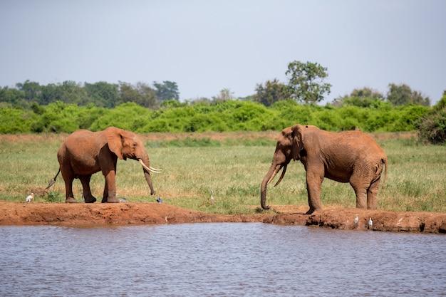 Een waterput in de savanne met enkele rode olifanten