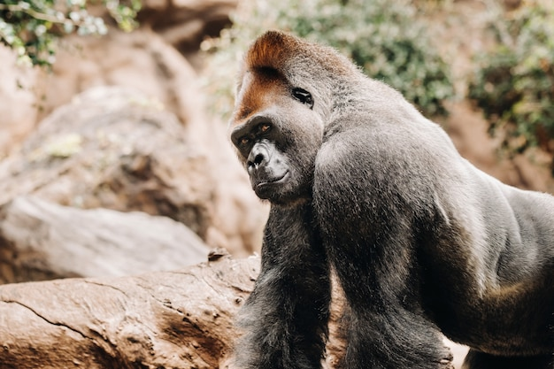 Een westelijke laaglandgorilla met een pruilende uitdrukking. de gorilla kijkt me aan. Premium Foto