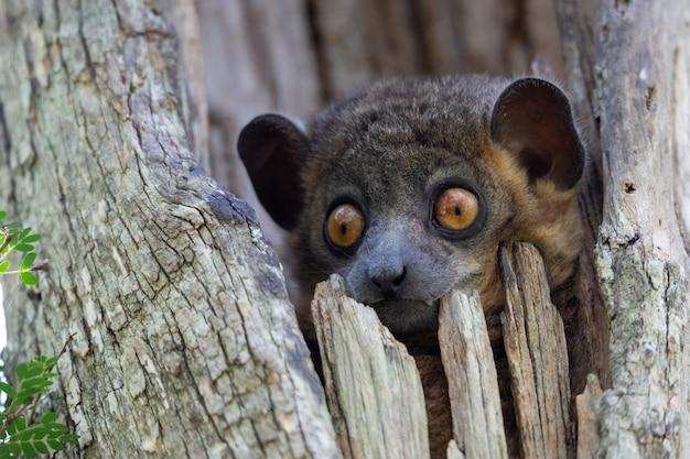Een wezelmaki in een boomhol kijkt nieuwsgierig uit.