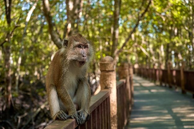 Een wilde aap zit op een brug in het mangrovebos.