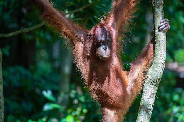 Een wilde bedreigde orang-oetan in het regenwoud van het eiland borneo, maleisië, close-up. orang-oetan aap op boom in de natuur