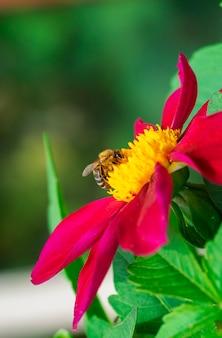 Een wilde bij verzamelt in de zomer nectar van een felrode grote bloem.