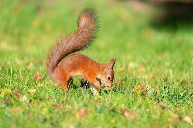 Een wilde eekhoorn die in het groene graspark eet