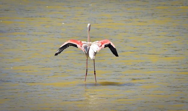 Een wilde geringde grote flamingo, phoenicopterus roseus, die tijdens de vlucht over ondiep water opstijgt