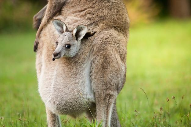 Een wilde kangoeroe uit australië in de voorste tas van een moeder