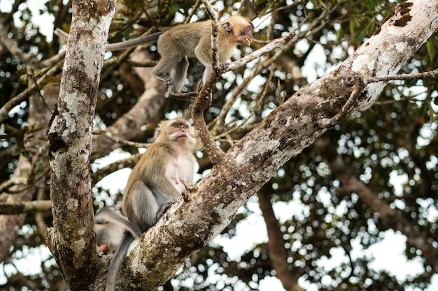 Een wilde levende aap zit op een boom op het eiland mauritius, apen in de jungle van het eiland mauritius.