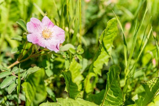 Een wilde roos groeit aan de kant van een landweg