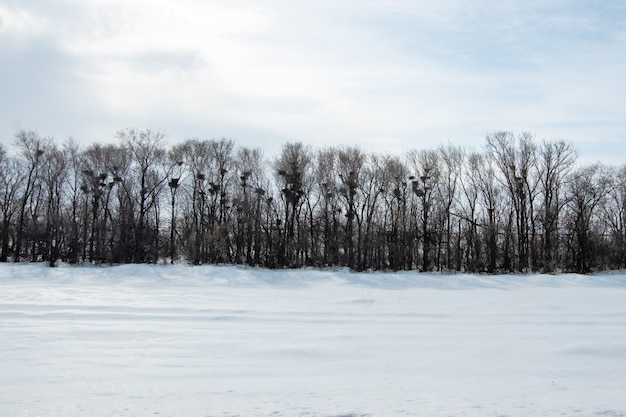 Een winterbos zonder bladeren, er zijn veel lege vogelnesten op de takken