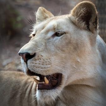 Een wit leeuwgezicht