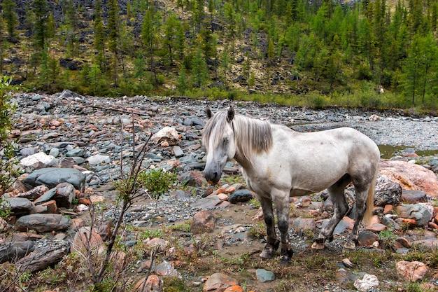Een wit paard met vastgebonden benen staat bij de steenachtige bedding van een bergrivier. korte manen. bos op de berghelling. veel stenen. horizontaal.