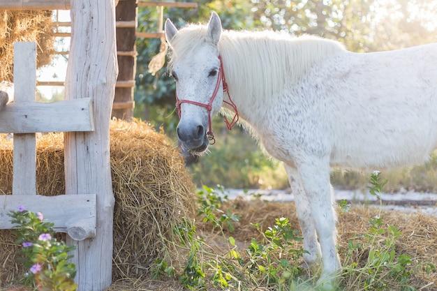Een wit paard staat en eet rijststro op de achtergrond van de zonsondergang.