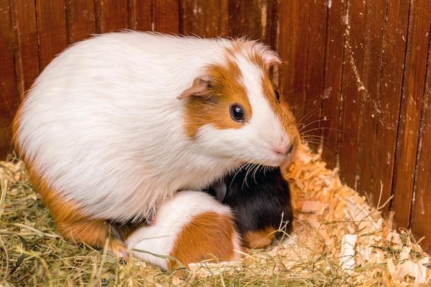 Een witgevlekte cavia voedt zijn kleine kinderen_