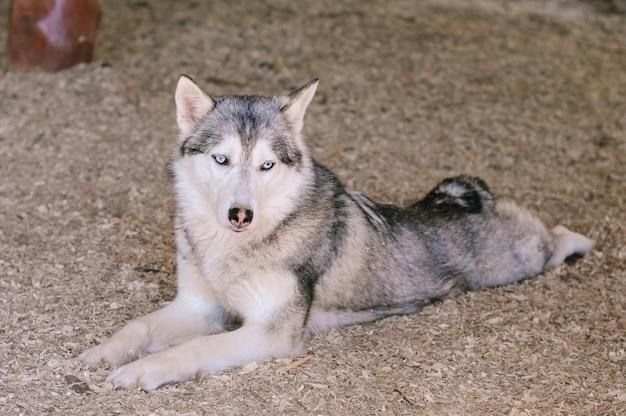 Een witgrijze huskyhond met blauwe ogen ligt op de grond in zaagsel in de schaduw